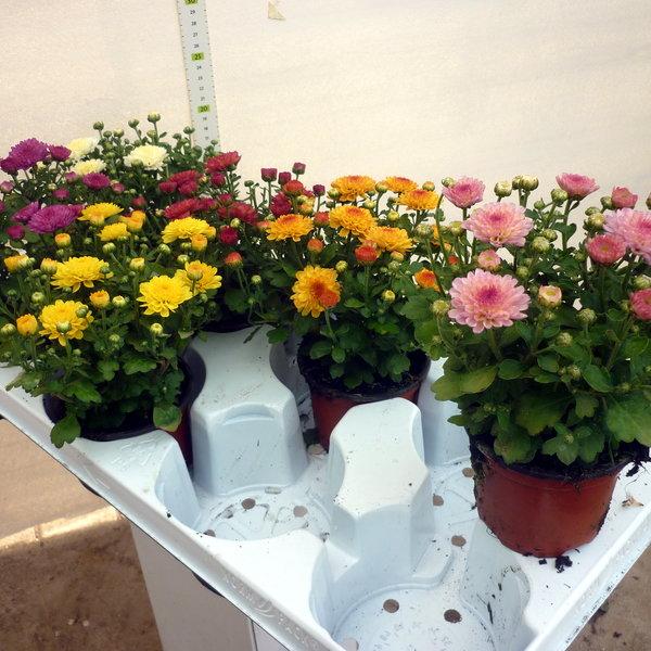 bvb bendingbostel topfpflanzen aus niedersachsen. Black Bedroom Furniture Sets. Home Design Ideas